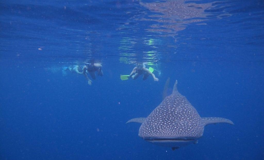 whale shark sumbawa